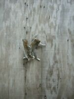 GRAY SQUIRREL CLIMBING UP FREE STYLE - MOUNT -  TAXIDERMY
