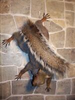 NEW AMAZING GREY Squirrel taxidermy mount,Man cave, NR. LOG HOME.