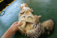 Grey fox pelt Nice soft leather fresh tanned eastern color animal beautiful nice