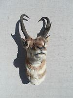 Male Buck Antelope Stuffed Head Big Game Mount Good Condition Wyoming South Dak