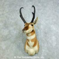 #18457 P | American Pronghorn Antelope Shoulder Taxidermy Head Mount