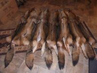 Tanned Coyote Western fur pelts tanned XL- XXXXL Western & Northern furs