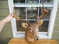 Whitetail 10 Point Monster Buck Deer Taxidermy Shoulder Mount 19 3/4
