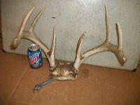 MONSTER 8 point WHITETAIL deer rack antler horn taxidermy man cave LOG cabin 4X4