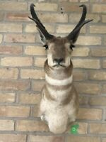American Pronghorn Antelope Taxidermy Shoulder and Head Mount