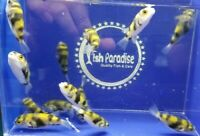 1.25quot; South American Puffer Colomesus Asellus Freshwater Live Tropical Fish.