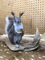 Mounted Alberts Squirrel