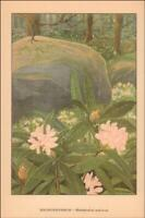 RHODODENDRON in the WOODS by L A Simonsen vintage print authentic 1926*