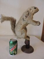 Vintage Antique Taxidermy Squirrel Mount Novelty Whitetail Deer Log Cabin Decor