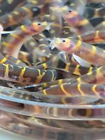 62 Kuhli Loach MD Pangio kuhlii Live Freshwater Fish quot;Striped Coolie Loachquot;