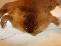 Muskrat Pelt Nature Fur Animal Skin Hide Makes a Natural Shin Skin