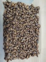 MEDIUM DUBIA ROACHES Approximately 1 2 3 4quot; in length Great Quality Best price