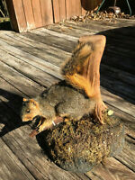 TAXIDERMY Pair of Vintage FOX SQUIRREL Mounts LOG CABIN Hunting LODGE DECOR LOOK