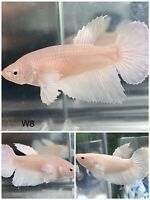 Guppy Live Fish Dragon Strian Size 3 Weeks 2 Pairs 2 Male amp; 2 Female