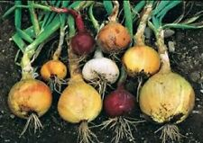 Heirloom Onion Seeds-Spanish white,Yellow,burgundy,bunching 6 kind 2014 Comb S&H