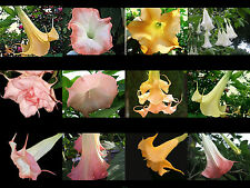Brugmansia Plant Fragrant Angels Trumpet Choose From 5 Colors 4 Inch Pot