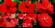 Tropical Hibiscus Plant Red Collection Choose One (1) Red Scarlet  Flowers SZ4P