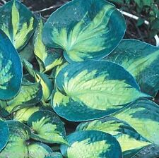 """hosta HEAT WAVE small thick disease-free healthy 3"""" pot ☆1 Live Potted Plant☆"""