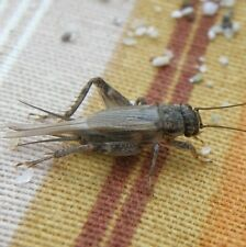 1000 Live Crickets - All Sizes - FREE SHIPPING - GUARANTEED ALIVE