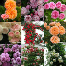 100X climbing rose rosa multiflora perennial fragrant flower seeds home dec PVCA