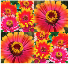 150 ZINNIA  ~ Whirligig ~  CARROUSEL FLOWER SEEDS Bright Colors Festive Patterns