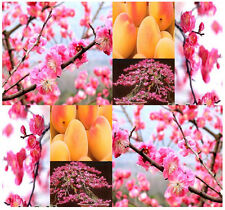 5  Japanese Flowering Apricot Plum Prunus Triloba Tree Seeds ~4 Chinese New Year
