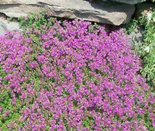 CREEPING THYME Thymus Serpyllum Groundcover Bulk Flower Seeds