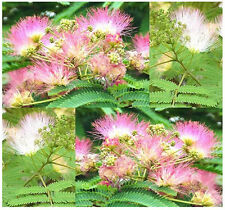 15 Mimosa Silk Tree, Northern A. julibrissin Seeds  Persian silktree, pink siris