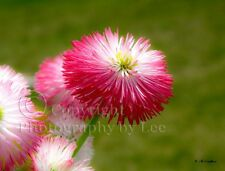 Pink English Daisy flower photo note card, blank floral greeting card