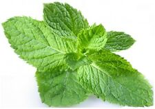 ORGANIC PEPPERMINT ARVENSIS Essential Oil *Buy 3 Get 1 FREE Pure Grade certified
