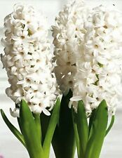 PREPARED HYACINTH BULBS White Pearl x 3. Probably the purest white hyacinth.