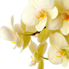 Vanilla Blossoms Fragrance Oil Candle/Soap Making, Oil Burners, Diffusers