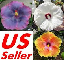 10 PCS Garden Giant Hibiscus Flower Seeds B67 B73 B74, Awesome Huge Flowers