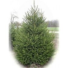 GROW YOUR OWN  CHRISTMAS TREES FROM OUR FIVE DIFFERENT VARIETIES OF SEEDS