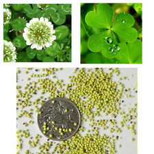 WHITE DUTCH CLOVER Lawn Groundcover Seeds Cover Crop Green Manure Low Growing