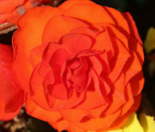 BEGONIA TUBEROUS DOUBLE ORANGE Begonia Tuberosa Bulk Seeds