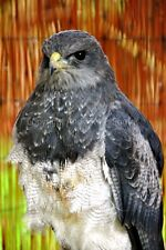 Chilean Eagle or Black chested Buzzard photograph picture poster art print photo