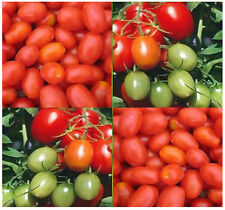 10 JULIET Tomato seeds  EXTRA EARLY ONLY 60 DAYS ~!  CONSISTENT ROBUST PERFORMER