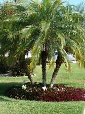 Pygmy Date Palm seeds Phoenix Roebelenii Fresh seeds. Shipping from USA!