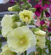 Hollyhock seeds - various colors and mixed packs