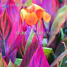 10 Pcs Canna Seeds Beautiful Flower Seed Mix Indica Lily Plants Garden Bulbs ...