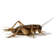 """Crickets 1/8"""" (Small) Live Original Brown Crickets, 500 to 4000 Counts"""