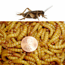 Crickets and Giant Mealworms COMBO-500 Giant Mealworms & 500 Crickets each
