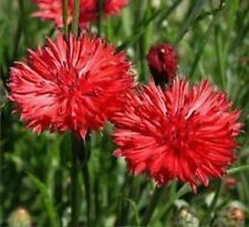 Bachelor Button, Tall Red Flower Seeds - Fresh & Hand Packaged