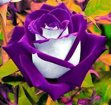50 x Rare Multi-Colors Purple White Rose Flower Seeds Garden Plant, Other Colors