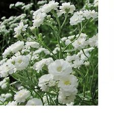 Baby's Breath Fresh Hand Packaged Flower Seeds