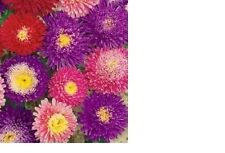 Aster, Powderpuff Mix Flower Seeds - Fresh & Hand Packaged