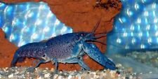 Electric Blue Crayfish (Lobster) Live fish Free Shipping