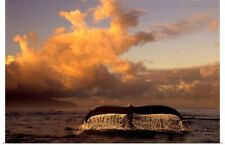 Poster Print Wall Art entitled Humpback Whale Tail in Water