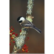 Poster Print Wall Art entitled Black-capped chickadee bird on tree branch with